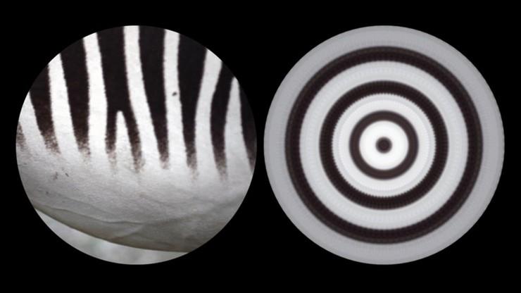 Binocular: Zebra 2