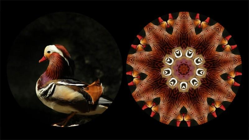 Binocular: Mandarin Duck