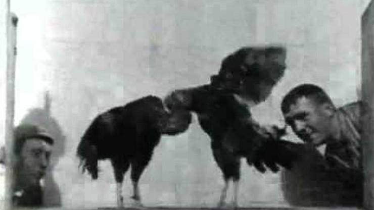 Cock Fight, No. 2