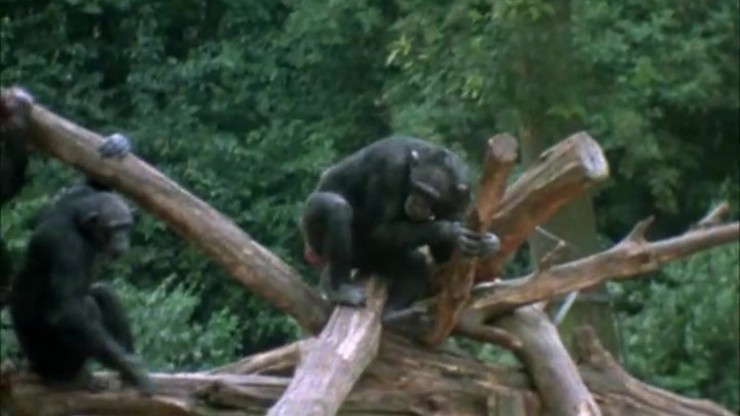 The Family of Chimps