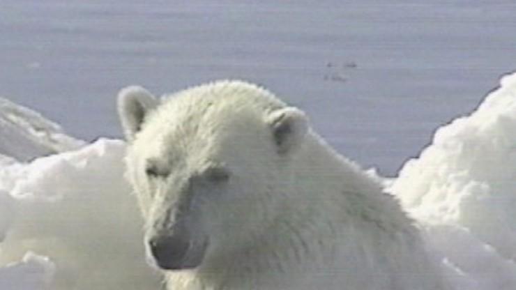 My First Polar Bear