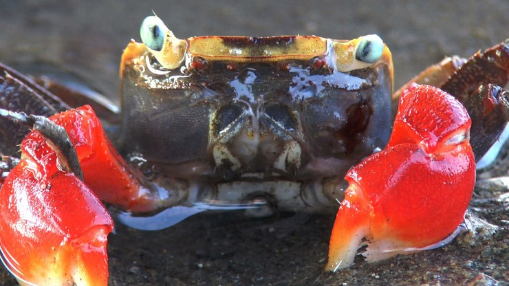 Planet of the Crabs