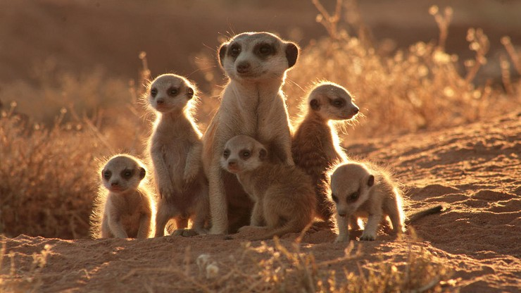 La familia suricata