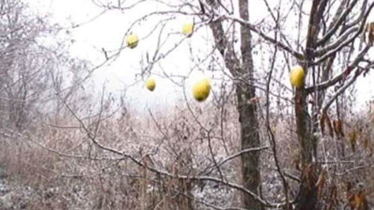 Ten Oxherding Pictures #4: Catching the Ox-Two Chinese Quinces