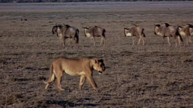 A True-Life Adventure: The African Lion