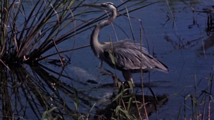A True-Life Adventure: Water Birds