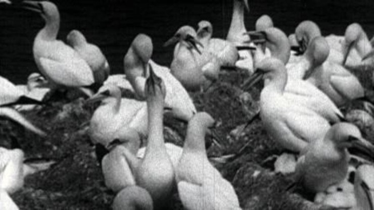 The Private Life of the Gannets