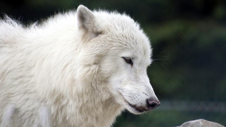 White Wolves: A Cry in the Wild 2