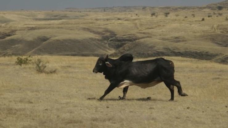Valu: The Wild Bull