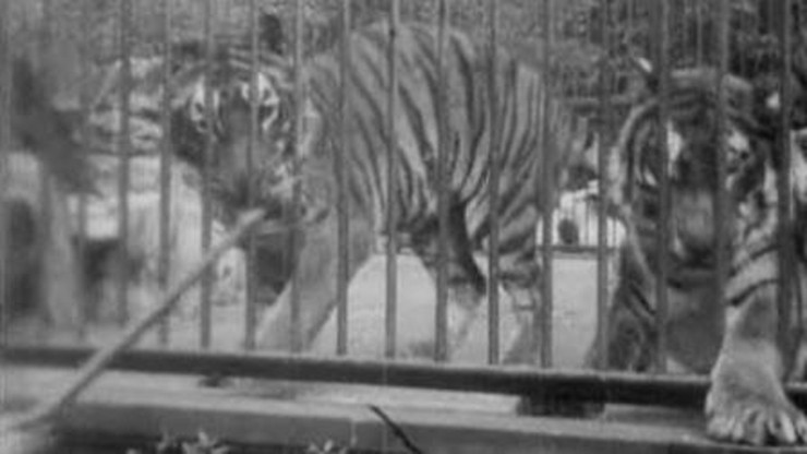 Tigers, London Zoological Gardens
